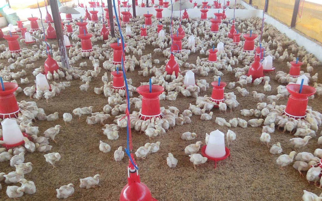 Chicken Farming – Satara, India